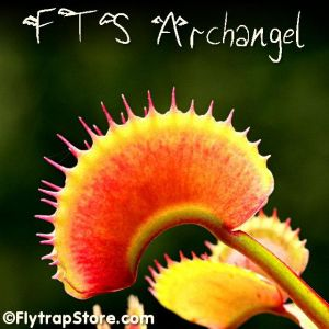 FTS Archangel Venus fly trap
