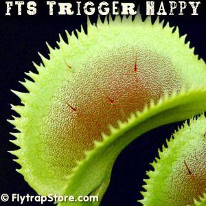 FTS Trigger Happy Venus flytrap