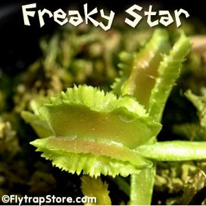 Freaky Star Venus Fly Trap