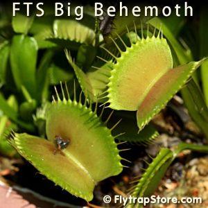 FTS Big Behemoth Venus fly trap