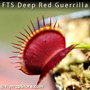 FTS Deep Red Guerrilla Venus fly trap