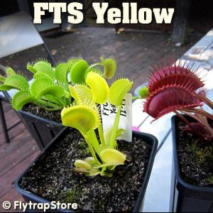 FTS Yellow