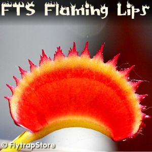 FTS Flaming Lips