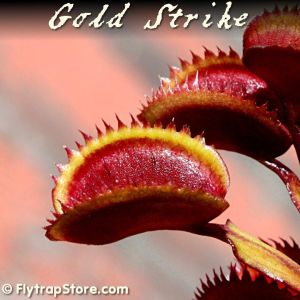 Gold Strike Venus fly trap
