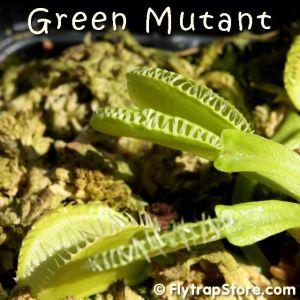 Green Mutant Venus fly trap
