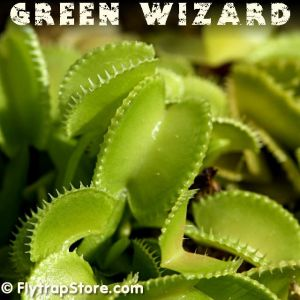 Green Wizard Venus fly trap