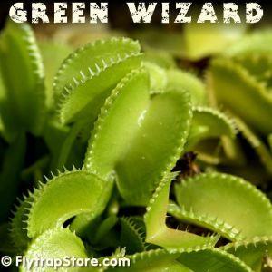 Green Wizard Venus fly trap
