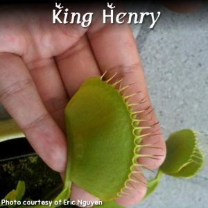 King Henry Venus Fly Trap