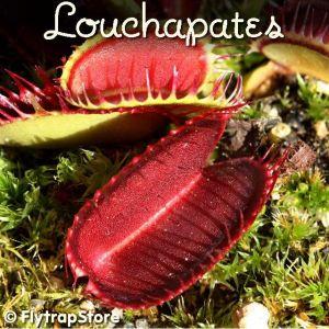 Louchapates Venus fly trap