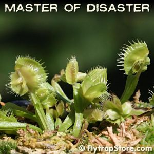 Master of Disaster Venus fly trap