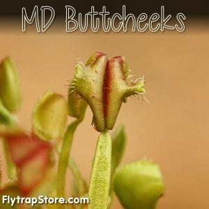 MD Buttcheeks Venus flytrap