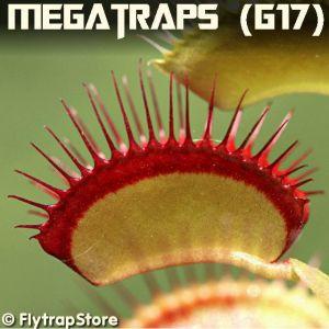 Megatraps