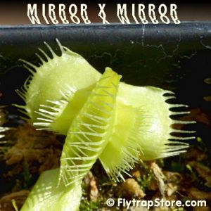 Mirror x Mirror Venus fly trap