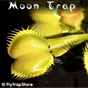 Moon Trap Venus fly trap