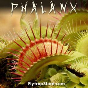 Phalanx Venus Flytrap