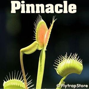 Pinnacle Venus Fly trap