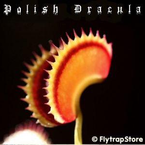 Polish Dracula Venus flytrap