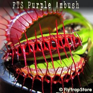FTS Purple Ambush