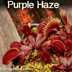 Purple Haze Venus flytrap