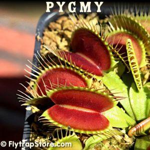 Pygmy Venus flytrap