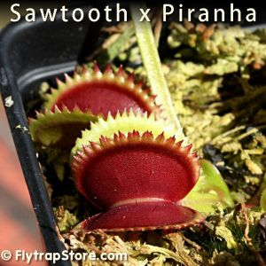 Sawtooth x Piranha Venus Fly Trap