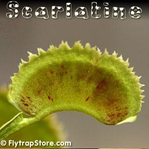 Scarlatine Venus Fly Trap