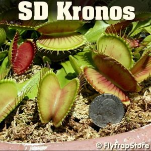SD Kronos Venus fly trap
