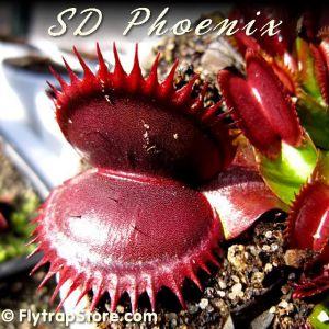 SD Phoenix Venus flytrap