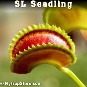 SL Seedling Venus flytrap