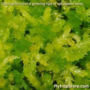 Live sphagnum moss