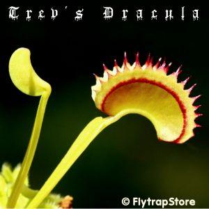 Trev's Dracula Venus fly trap