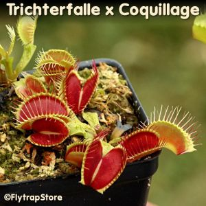 Trichterfalle x Coquillage Venus fly trap