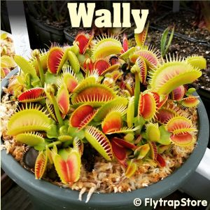 Wally Venus flytrap