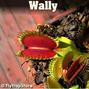 Wally Venus fly trap