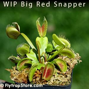 WIP Big Red Snapper Venus fly trap