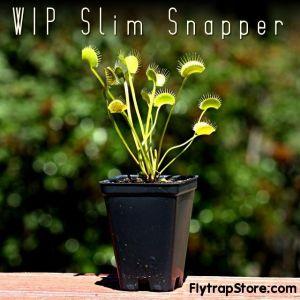 WIP Slim Snapper