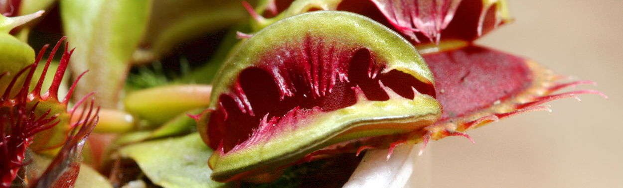 Unusual Varieties of Venus Flytraps for Sale