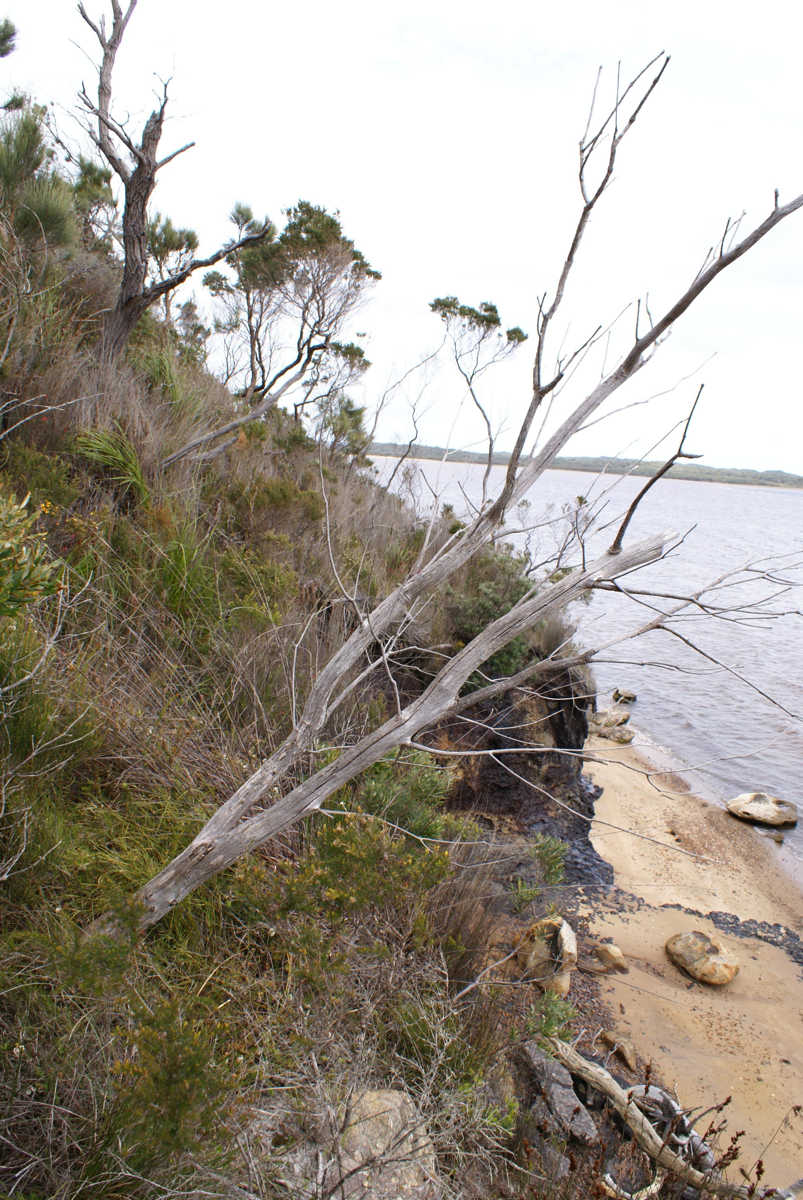 Cephalotus follicularis Habitat