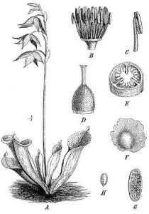 An early botanical illustration of Heliamphora nutans