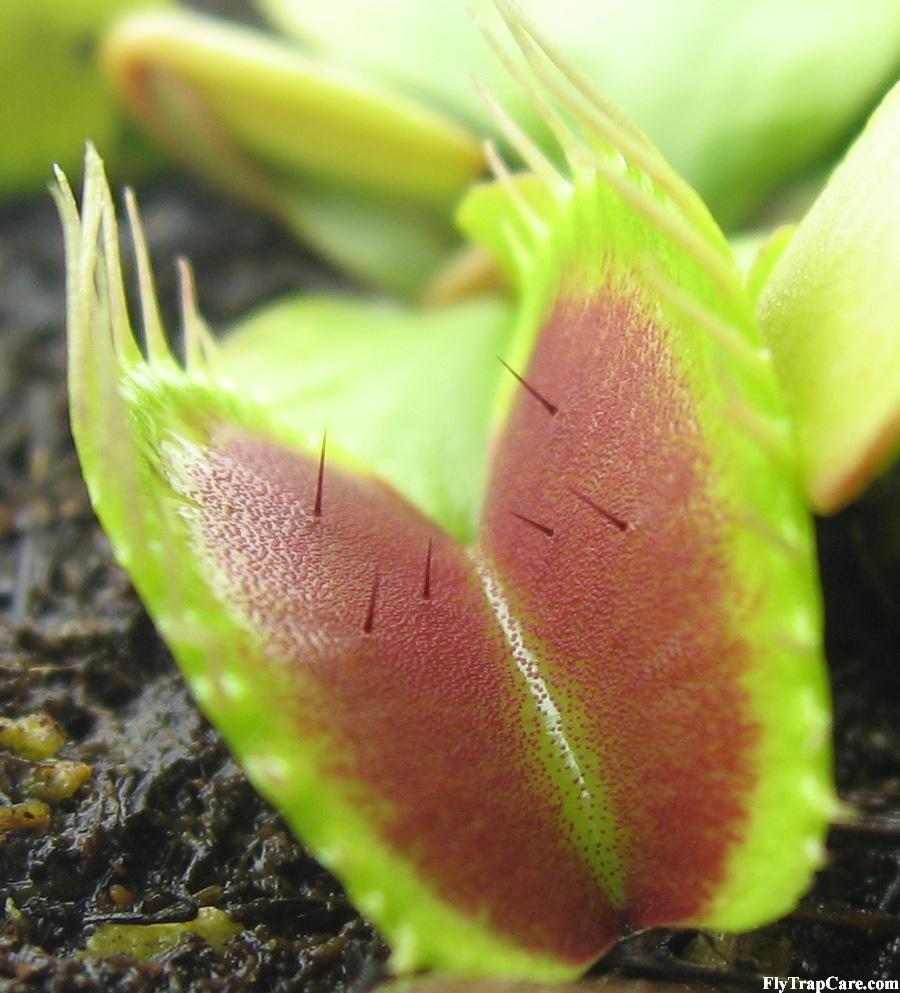 Venus fly trap information flytrapcare trigger hairs on a venus fly trap ccuart Choice Image