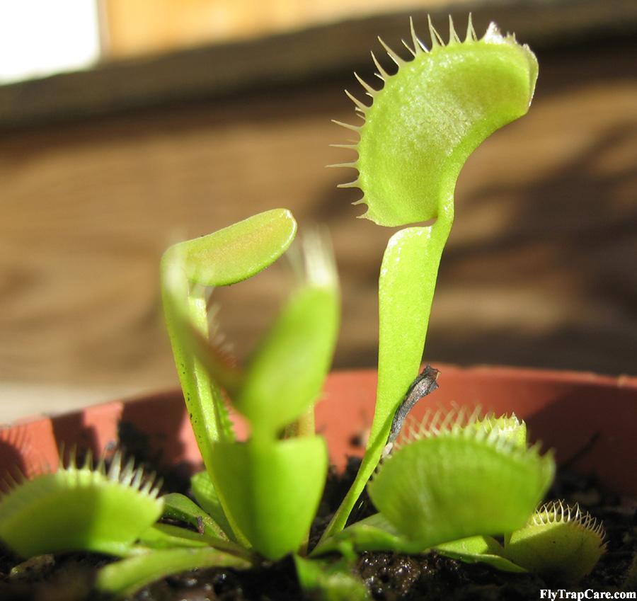 Venus fly trap information flytrapcare leaf base petiole and trap ccuart Choice Image