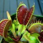 Big Mouth Venus Fly Trap