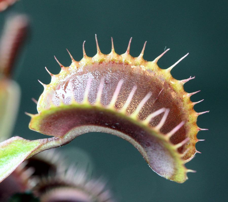 Clayton's Red Sunset Venus Fly Trap