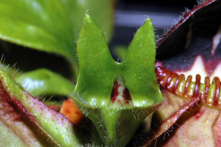 A hybrid Cephalotus leaf that is between a carinvorous and non-carnivorous leaf