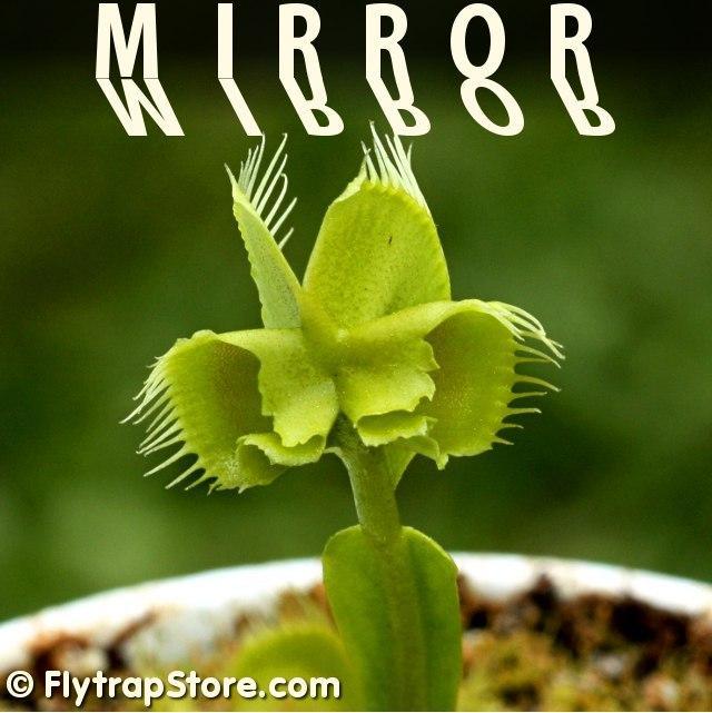 Mirror Venus Fly Trap