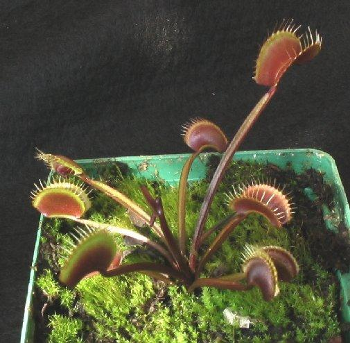 Royal Red Venus Fly Trap