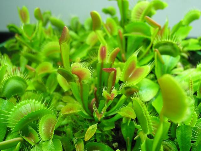 Quickly Growing Young Venus Flytraps