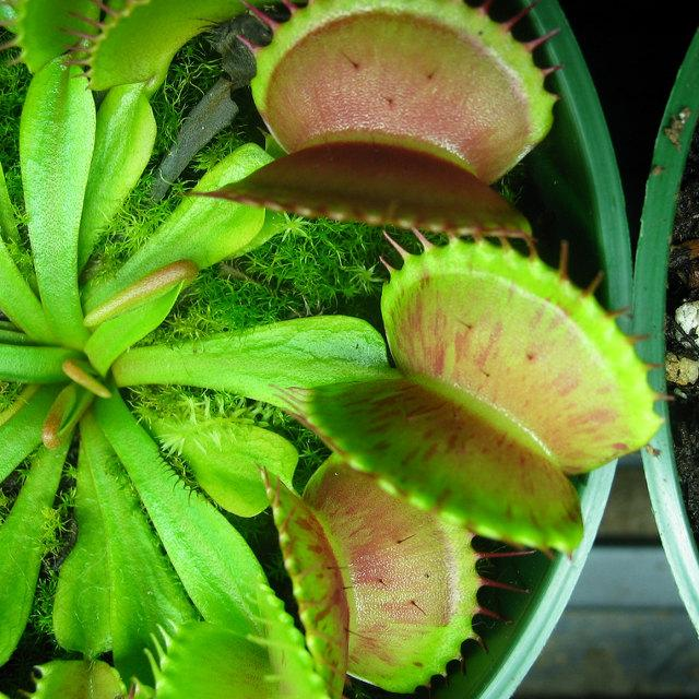Nearly Adult-sized Venus Fly Traps