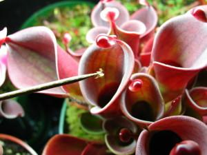 Feeding Heliamphora Dehydrated Blood Worms
