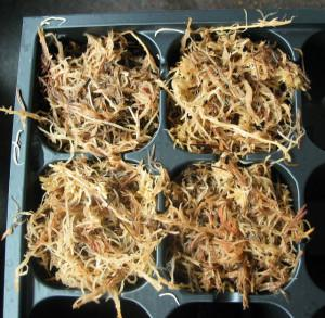 Flytrap Seed Sowing